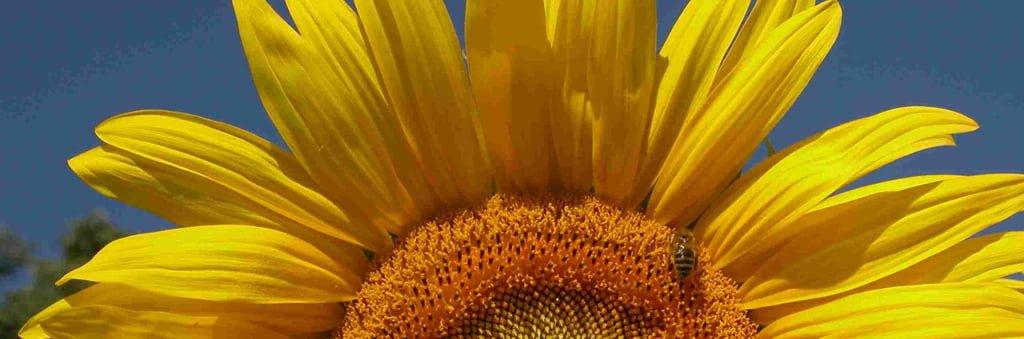 sonnenblume-starterkit